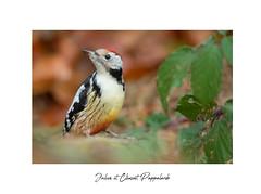 Le timide. (Les Frères des Bois) Tags: dendrocoptes medius picmar picidae piciformes middle spotted woodpecker