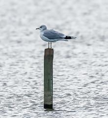 Rainham 12.12.18 Common Gull