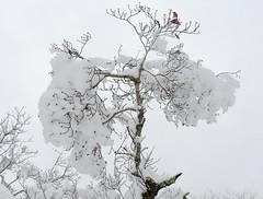 Snow-3708 (kasiahalka) Tags: nc northcarolina outdoor snow tree trees westernnorthcarolina wnc