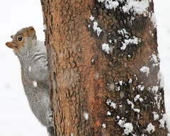 Squirreling around in the snow (karma (Karen)) Tags: baltimore maryland home backyard squirrel tree bark texture htt