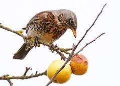 Fieldfare ANR 6th Feb 2019 (Nigel B2010) Tags: fieldfare bird tree apples feeding wildlife nature outdoors countryside attenborough reserve nottinghamshire winter february east midlands