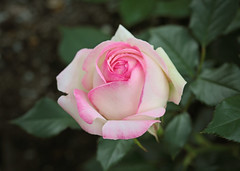 Nevena Uzurov - Weekend Rose (Nevena Uzurov) Tags: rose flower garden romantic love petals white tender delicate nevenauzurov serbia