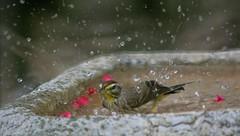 Splish - Splash (ACEZandEIGHTZ) Tags: nikon d3200 waterdrops birdbath nature backyard birdwatcher wet bath bird closeup macro wash songbird yellowpalmwarbler setophagapalmarum browncap feathers natureinfocusgroup