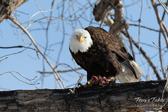 January 1, 2019 - A bald eagle guards its meal in Thornton. (Tony's Takes)