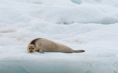 Bearded Seal, Svalbard (nicnac1000) Tags: svalbard seal spitzbergen norway beardedseal