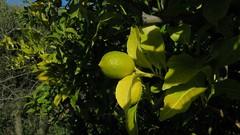 Fruits d'hiver (bernard.bonifassi) Tags: bb088 06 alpesmaritimes 2018 janvier eu canonsx60 counteadenissa fruit agrume citron nice nissa gairaut