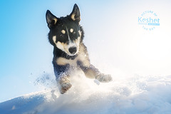 Picture of the Day (Keshet Kennels & Rescue) Tags: husky snow winter play adoption dog ottawa ontario canada keshet large breed dogs animal animals pet pets field nature photography