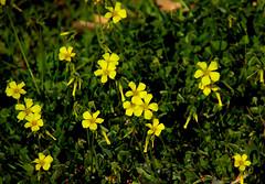 florecitas (angelalonso4) Tags: canon eos 7d mark ii tamron 16300mm f3563 di vc pzd b016 ƒ63 3000 mm 1800 100 flor flower amarillo yellow verde nature natura explore explorar 2019 trébol vinagretas botánica composición