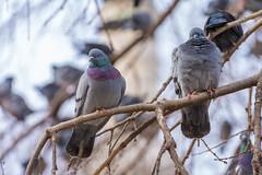 Urban birds (decafeined) Tags: pigeon crow bird observing birdobserver nikkor nikon 70300mm vr nature istanbul branch tree d7200