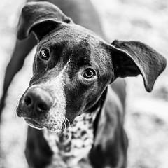Albus18Jan201927-Edit.jpg (fredstrobel) Tags: dogs pawsatanta phototype atlanta blackandwhite usa animals ga pets places pawsdogs decatur georgia unitedstates us
