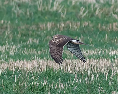 Ring - tailed Hen Harrier