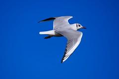 Je vole ! (Marc ALMECIJA) Tags: oiseau bird aves panasonic g9 lumix 100400 outdoor outside nature natur wildlife bleu blue ciel aniaml