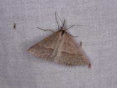 Epidesmia hypenaria (dhobern) Tags: 2019 act australia geometridae january lepidoptera namadginationalpark oenochrominae epidesmiahypenaria
