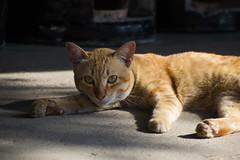 Thailand-5047 (Andy Kaye) Tags: thailand siam chiang rai thai asia east northern cat gat gato kitten ginger