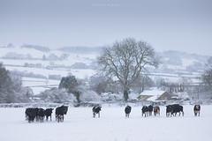 Herd immunity (Sarah_Brooks) Tags: cows herd snow cattle rural landscape somerset tree