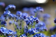 Myosotis      Angénieux G10   F:48  1:4 (情事針寸II) Tags: クローズアップ 自然 花 勿忘草 blue macro oldlens bokeh nature fleur flower forgetmenot myosotis angénieuxg10f4814 ngc
