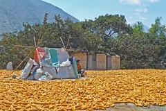 Drying corn the natural way (Lewitus) Tags: food corn