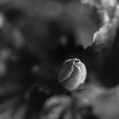 Hibiscus Flower Bud (Mikael Neiberg) Tags: hibiscus chinahibiscus bud flowerbud flower monochrome bokeh dof zenzabronicas2 ilforddelta100 iso100 bw blackandwhite greenfilter extensiontube extensionring closeup macro filmisnotdead 120film mediumformat