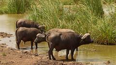 20190114_095 (zubaa) Tags: kamweti kenya buffalo synceruscaffer nairobinationalpark nnp wildlife protectedarea conservation