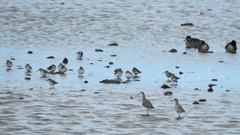 East Chevington - Two Ruff and Assorted Waders (Gilli8888) Tags: nikon p900 coolpix northumberland northeast birds eastchevington chevington waterbirds waders ruff dunlin ducks mud mudflats wetlands