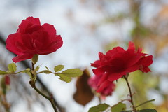November Rose 1 (Martin Siegel) Tags: rose november sonya850 tamron90mm linz austria oostenrijk österreich autumn herbst fall fulframe ff
