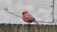 Just chillin (jp254958) Tags: wildlife wild nature red cardinal male malvern pennsylvania bird birds color colorful sony alpha a7rii tamron70200mm winter birding northerncardinal pa chester county greatvalley