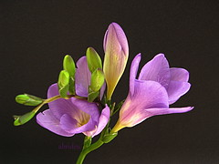 Freesia (abrideu Thanks for 3 Million+ views) Tags: abrideu canon macro flowers flower depthoffield bright lilac ngc npc freesia