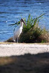 Wood Stork (Fido Cat) Tags: nature frippisland southcarolina birds storks woodstork herons greenheron midnightheron egret