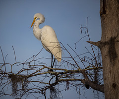 Black Bear Wilderness Area (tshabazzphotography) Tags: bird tree sky animan animal egret whiteegret nature wildlife branches white feathers canon florida outdoors environment explore 250mm solo alone detail