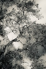 Looking up (tonguedevil) Tags: outdoor outside countryside winter tree branches sky cloud bw