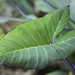 Goosefoot Plant / Syngonium podophyllum 'Variegatum' / シンゴニウム・ポドフィルム