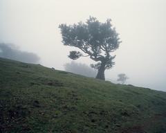 Tree in fog II (JaZ99wro) Tags: exif4film tree fog provia100f e6 green tetenal3bathkit f0366 plustekopticfilm120 pentax67ii madeira mist film analog