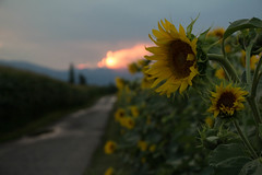 Les tournesols (Gisou68Fr) Tags: champ champs tournesol tournesols route chemin road solei coucher coucherdesoleil juillet 2018 été