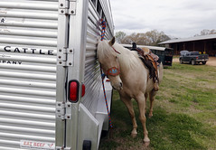 A horse leans against the trailer. Several members in the Curtis family compete in various rodeos around the area, practicing different western riding style disciplines that were used in the past to wrangle cattle and other livestock.
