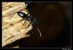 Tapinoma sp. (cquintin) Tags: arthropoda hymenoptera formicidae tapinoma