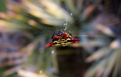 Gasteracantha cancriformis --  Spiny Orb Weaver Spider 2421 (Tangled Bank) Tags: palmbeachcounty florida gasteracantha cancriformis spiny orb weaver spider 2421 wild nature natural outdoors arachnida fauna arthropod