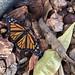 Dormant Monarch Awakes (3 of 3)