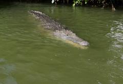 Caïman (Puce d'eau) Tags: caïman alligatorides faune sauvage wildlife nature mangrove yucatan mexique quintana roo canon eos 7d 1018mm marécages