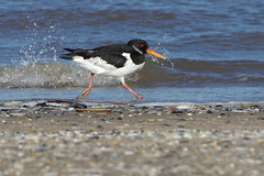 K32P7535a Oystercatcher, Titchwell Beach, February 2019 (bobchappell55) Tags: titchwell marsh norfolk wild bird wildlife nature wader oystercatcher haematopusostralegus