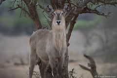 Female Waterbuck (leendert3) Tags: leonmolenaar southafrica krugernationalpark wildlife nature mammals waterbuck ngc npc coth5