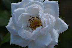 Rose 'Marcia Stanhope' raised in UK (naruo0720) Tags: rose englishrose marciastanhope bredbyellie englishrosescollection バラ イギリスのバラ マーシャスタンホープ エリーのバラ イギリスのバラコレクション nikonscamera sigmalenses d810 sigma 105mm f28 ex dg os hsm2 sigma105mmf28exdgoshsm