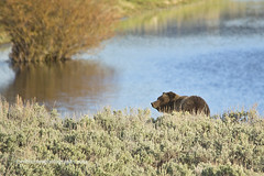 IMG_6787_1crpd (Ed Thomes Photography) Tags: grizzly bear yellowstone national park specimen creek blue water sage brush natural pristine wild bruin