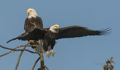 Going for lunch dear  ! (pete#1) Tags: 300 canon eagle vancouverisland raptor flight