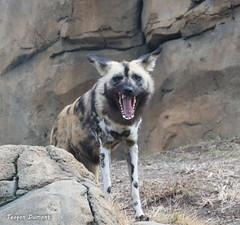 234A1085.jpg (Mark Dumont) Tags: painted dog teagan zoo dumont african cincinnati