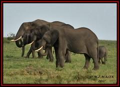 FAMILY HERD OF AFRICAN ELEPHANTS (Loxodonta africana)....MASAI MARA....SEPT 2017. (M Z Malik) Tags: nikon d3x 200400mm14afs kenya africa safari wildlife masaimara keekoroklodge exoticafricanwildlife elephants ngc npc