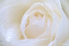 White... (Maria Godfrida) Tags: lookingcloseonfriday shadesofwhite soft rose flower flora nature closeup macro waterdrops droplets pure challengeonflickr cof072 floramacro cof072dmnq cof072hole cof072cott cof072patr cof072radm cof072wern cof072red cof072mark cof072mvfs cof072chri