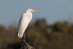 Garza Grande (ik_kil) Tags: garzagrande greategret ardeaalbaegretta esterodetongoy regióndecoquimbo avesdechile birds egret chile ardeaalba