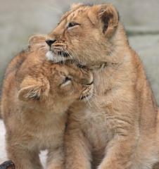 asiatic lion Blijdorp 094A0714 (j.a.kok) Tags: animal asia azie asiaticlion aziatischeleeuw blijdorp mammal zoogdier dier predator leeuw lion pantheraleopersica
