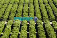 Anglų lietuvių žodynas. Žodis orcharding reiškia sodo auginimas lietuviškai.