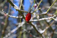 Rosa canina (MattArgo79) Tags: macrofotografia macro natura nature rosacanina montagna red flora rosehip plants pianta plant botanyphoto